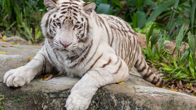 Beautiful White Tiger Portrait Lying Down 2 Stock Image