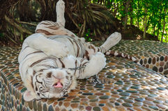 Beautiful white tiger Royalty Free Stock Photo