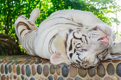 Beautiful white tiger Royalty Free Stock Photo