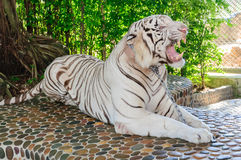 Beautiful white tiger Royalty Free Stock Images