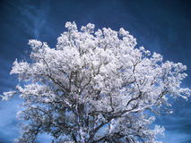 Beautiful white tree Royalty Free Stock Photos