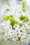Beautiful white tree blossoms Royalty Free Stock Images