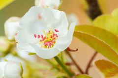 Beautiful white tree flowers Royalty Free Stock Photography