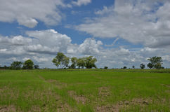 Beautiful white tropical clouds over young green rice field Royalty Free Stock Photos
