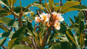 Beautiful white tropical flowers on tree. Buds of flowers grow on a tree in hot Thailand. Beautiful white tropical flowers on a tree. Buds of flowers grow on a stock video footage