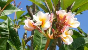 Beautiful white tropical flowers on tree. Buds of flowers grow on a tree in hot Thailand. Beautiful white tropical flowers on a tree. Buds of flowers grow on a stock footage