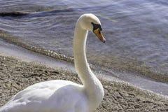 Beautiful white trumpeter swan walking along waters edge, side p Royalty Free Stock Photos