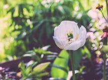 Beautiful white tulip Stock Images