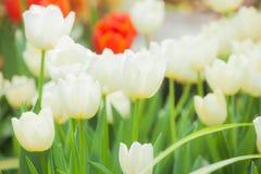 The beautiful white tulip Stock Photo