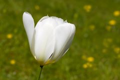 A beautiful white tulip - closeup Stock Photography
