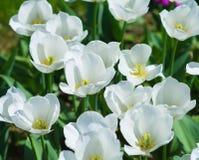 Beautiful white tulip field closeup. In the park Stock Image