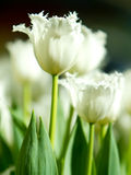 Beautiful white tulip flower blooming in spring Stock Photo