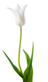 Beautiful white Tulip flower is isolated on white Royalty Free Stock Images