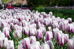 Beautiful white tulip flowers in Keukenhof Garden Royalty Free Stock Photos