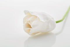 Beautiful white tulip Stock Photos