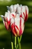 Beautiful white tulip in spring Royalty Free Stock Images