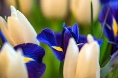Beautiful White Tulips And Blue Irises Royalty Free Stock Photography