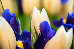 Beautiful White Tulips And Blue Irises Stock Photography