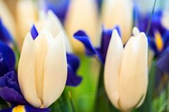 Beautiful White Tulips And Blue Irises Stock Images