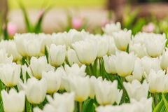 Beautiful  white tulips blooming in the garden. Royalty Free Stock Images