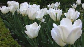 Beautiful white tulips. stock video footage