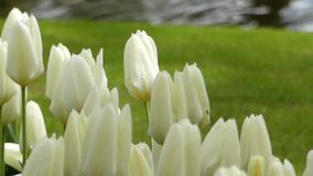 Beautiful White Tulips in the Flower Park. The Action in Real Time stock video footage