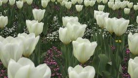Beautiful white tulips. In garden stock video footage