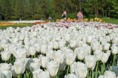 Beautiful  white tulips in garden Royalty Free Stock Photo