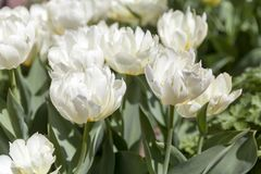 Beautiful white tulips in spring. In Botanical Garden in New York City Royalty Free Stock Photography