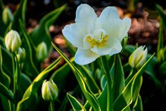 Beautiful white tulips. Beautiful white tulip, in full bloom, in a field of springs finest bloom Stock Image