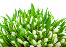 Beautiful white tulips on white Stock Photography