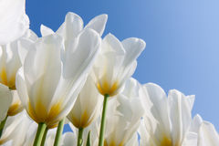 Beautiful white tulips with a yellow heart Royalty Free Stock Images