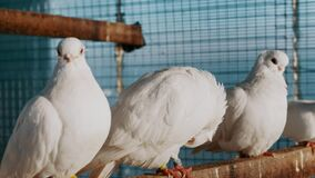 Beautiful white unusual purebred doves in zoo in a cage, exhibition of beautiful birds