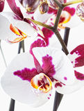 Beautiful white-violet orchid Stock Photos