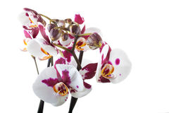Beautiful white-violet orchid Stock Images