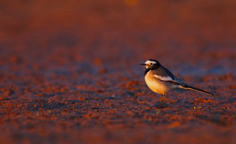 Beautiful White  wagtail Stock Photos