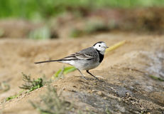 Beautiful White wagtail Royalty Free Stock Photos