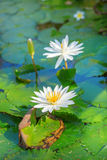 Beautiful white water lilies. In pond Stock Images