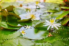 Beautiful white water lilies in pond Royalty Free Stock Images
