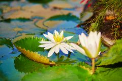 Beautiful white water lilies in pond Stock Images