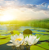 Beautiful white water lilies. At the sunset Royalty Free Stock Photography