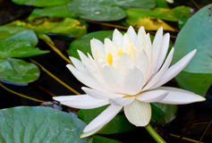 Beautiful white water lily Stock Photos