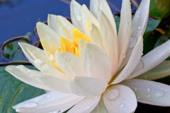 Beautiful white water lily Royalty Free Stock Photography