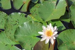 Beautiful white water lily. In a small pond. Colorful leaves royalty free stock images