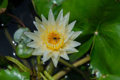 Beautiful white water lily with bee Royalty Free Stock Image