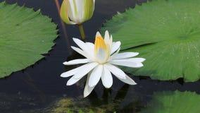 A beautiful white water lily. Stock Photo