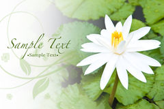 beautiful white water lily and bright green leave Stock Images