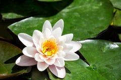 Beautiful white water lily Stock Image