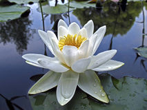 Beautiful white water lily in drops of water close-up Stock Image