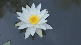 Beautiful white water lily flower stock video